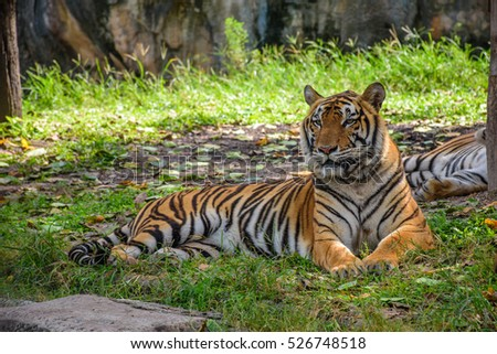 Indochinese tiger in Songkhla Zoo, Thailand.