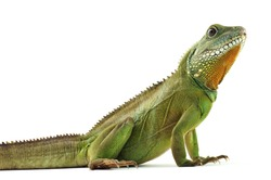 Indochinese water dragon on a white background