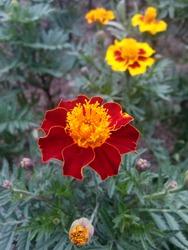 INDONESIA - BANDUNG, 23 NOV 20, blooming flower..flame red flower..on 23 nov 20, bandung