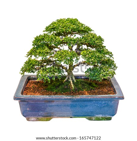indonesian cosmetic bark tree as bonsai, isolated on white background