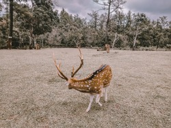 Indonesian deer now is one of rare animals. it's horn often hunted by human to be display decoration or just collection at their home. That's why, this place (at Bogor) doing deer cultivation.