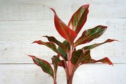 Indoor air purifying plants named Aglaonema Red Lipstick or Chinese Evergreen Plant or Aglaonema Siam AUrora