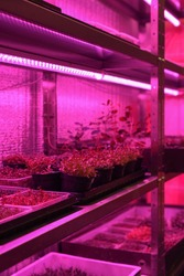 Indoor edible garden for growing microgreens in containers. Sprouting vegetable plants from seeds on shelves in artificial light