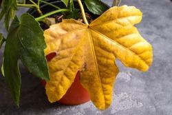Indoor flower disease, yellow leaf
