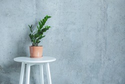 Indoor home Plant. Zanzibar Gem, ZZ Plant (Zamioculcas Zamifolia). flowering plant in front of grey concrete wall. Copy space