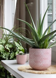 indoor house pot plants . potted aloe vera plant in pink pot.