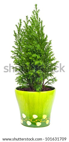 Indoor plant a cypress on a white background - stock photo