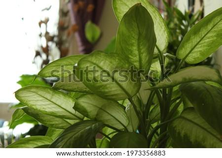 indoor plant Dieffenbachia Camilla on living room Foto stock ©