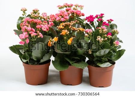 Indoor plant Kalanchoe blossfeldiana #730306564