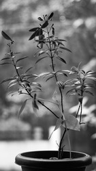 Indoor Plant which blossoms everywhere, one of the eye catching monochromatic photography of a wild flower