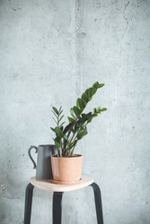 Indoor Plant. Zanzibar Gem, ZZ Plant (Zamioculcas Zamifolia). flowering plant in front of grey concrete wall. Copy space