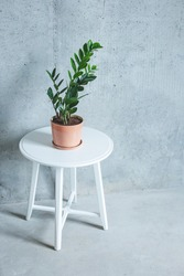 Indoor Plant. Zanzibar Gem, ZZ Plant (Zamioculcas Zamifolia). flowering plant in front of grey concrete wall. New loft apartment.Copy space