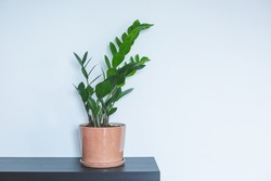 Indoor Plant. Zanzibar Gem, ZZ Plant (Zamioculcas Zamifolia). flowering plant in front of white wall. copy space