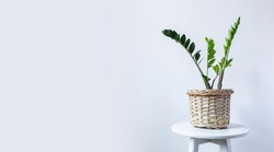 Indoor Plant. Zanzibar Gem, ZZ Plant, Zamioculcas Zamifolia. flowering plant on a light gray wall background. Copy space