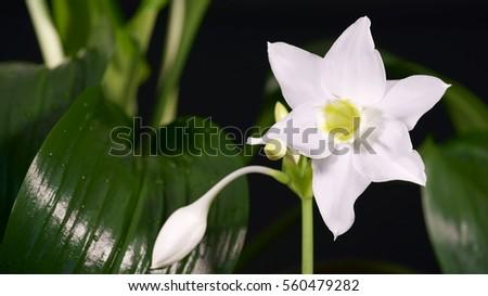 Blooming House Plant Eucharis Grandiflora Eucharis Amazonica
