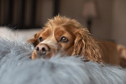 Indoor portrait of a cocker spaniel laying in bed with a furry pillow.