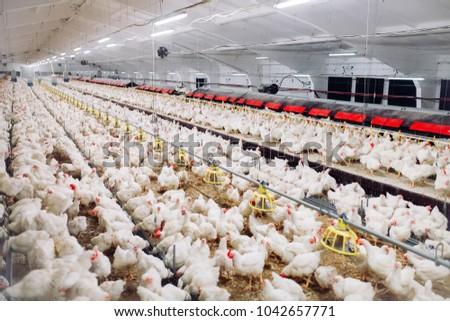 Indoors chicken farm, chicken feeding #1042657771