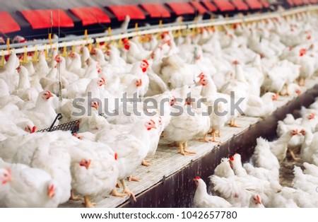 Indoors chicken farm, chicken feeding #1042657780
