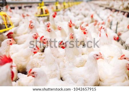 Indoors chicken farm, chicken feeding #1042657915
