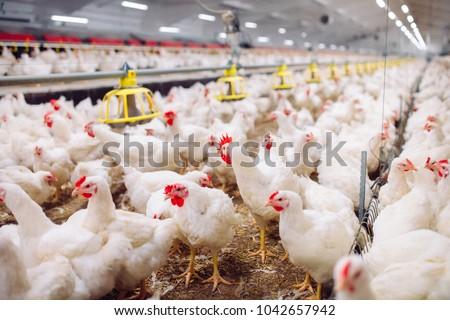 Indoors chicken farm, chicken feeding #1042657942