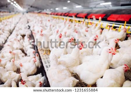 Indoors chicken farm, chicken feeding #1231655884