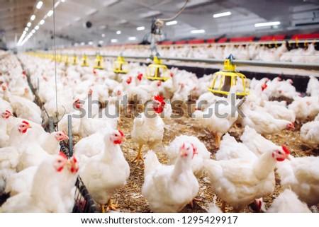 Indoors chicken farm, chicken feeding #1295429917