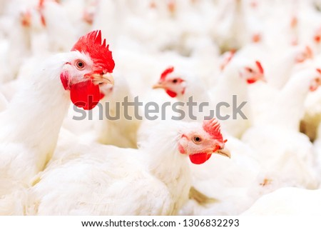 Indoors chicken farm, chicken feeding #1306832293