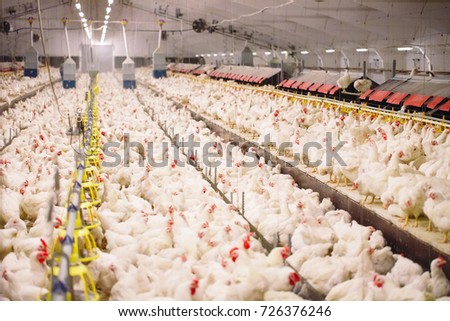 indoors chicken farm  chicken...