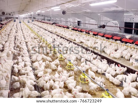 Indoors chicken farm, chicken feeding #766723249