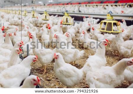 Indoors chicken farm, chicken feeding #794321926