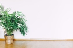 Indoors flat wall mockup with green potted houseplant home decoration in minimalist style. Home gardening concept. Interior in airy light scandinavian style with wooden floor