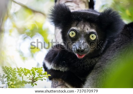 Indri indri. Portrait of this teddy bear like lemur as he sits up in the tree canopy looking at us