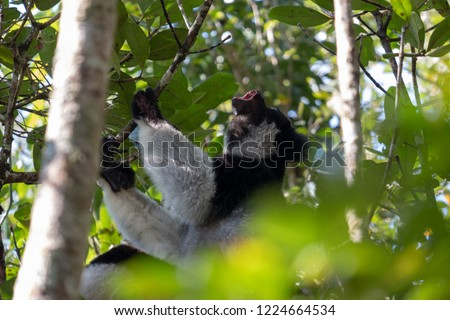 Indri lemur perched in a tree in Andasibe National Park. This is the largest living lemur species. Also known as babakoto.