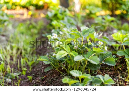 Industrial cultivation of strawberries. Bush of strawberry with flower in spring or summer garden bed. Natural growing of berries on farm. Eco healthy organic food horticulture concept background #1296045724