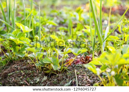 Industrial cultivation of strawberries. Bush of strawberry with flower in spring or summer garden bed. Natural growing of berries on farm. Eco healthy organic food horticulture concept background #1296045727