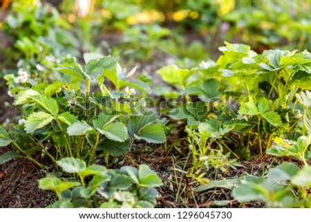 Industrial cultivation of strawberries. Bush of strawberry with flower in spring or summer garden bed. Natural growing of berries on farm. Eco healthy organic food horticulture concept background #1296045730