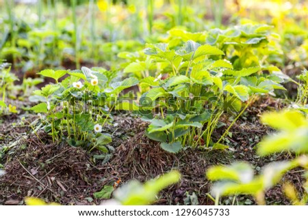Industrial cultivation of strawberries. Bush of strawberry with flower in spring or summer garden bed. Natural growing of berries on farm. Eco healthy organic food horticulture concept background #1296045733