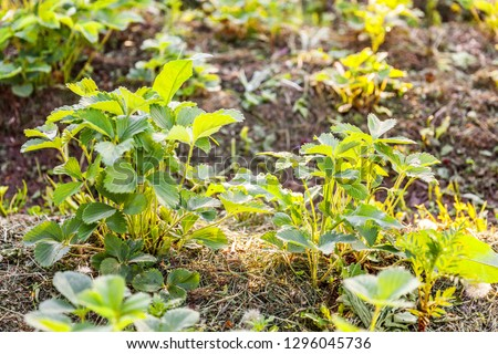 Industrial cultivation of strawberries. Bush of strawberry with flower in spring or summer garden bed. Natural growing of berries on farm. Eco healthy organic food horticulture concept background #1296045736