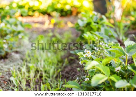Industrial cultivation of strawberries. Bush of strawberry with flower in spring or summer garden bed. Natural growing of berries on farm. Eco healthy organic food horticulture concept background #1313317718