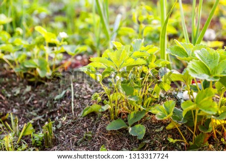 Industrial cultivation of strawberries. Bush of strawberry with flower in spring or summer garden bed. Natural growing of berries on farm. Eco healthy organic food horticulture concept background #1313317724
