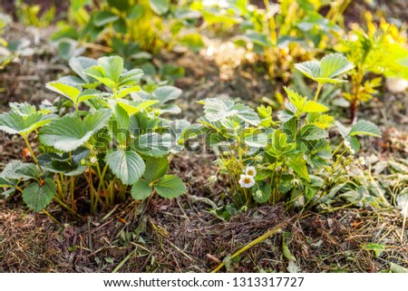 Industrial cultivation of strawberries. Bush of strawberry with flower in spring or summer garden bed. Natural growing of berries on farm. Eco healthy organic food horticulture concept background #1313317727