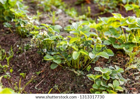 Industrial cultivation of strawberries. Bush of strawberry with flower in spring or summer garden bed. Natural growing of berries on farm. Eco healthy organic food horticulture concept background #1313317730
