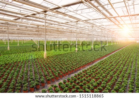 Industrial greenhouse with rows of cultivation. #1515118865