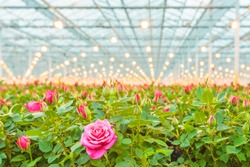 Industrial growth of pink roses in a Dutch greenhouse