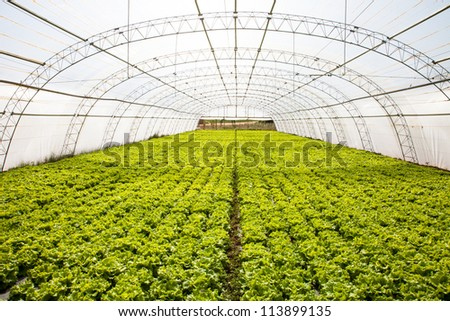 industrial lettuces cultivation in a hothouse