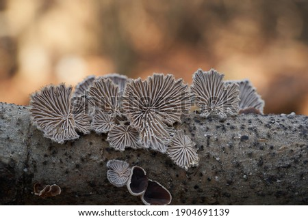 Inedible mushroom Schizophyllum commune in the floodplain forest. Known as Split Gill Fungus or splitgill mushroom. Wild mushrooms growing on the wood. Photo stock ©