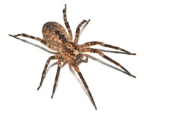 Infamous but actually harmless Mediterranean Spiny False Wolf Spider Zoropsis spinimana, found in Italy and photographed on white background