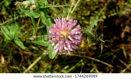 inflorescence of a plant called clover growing on lawns in the city of Bialystok in the Podlasie region in Poland Zdjęcia stock ©