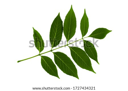inflorescence of green leaves of ash tree isolated on white background Сток-фото ©