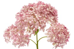 Inflorescence of  the pink flowers of hydrangea close-up, isolated on white background